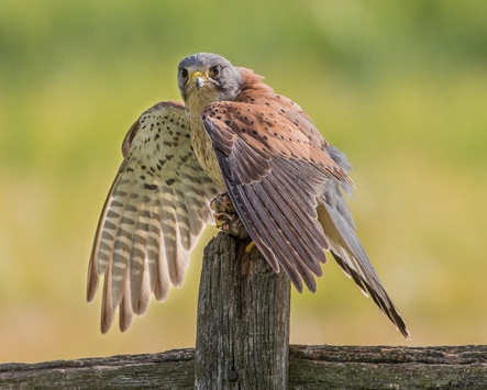 Kestrel on post guarding prey
