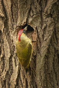 Green Woodpecker at Nest 1