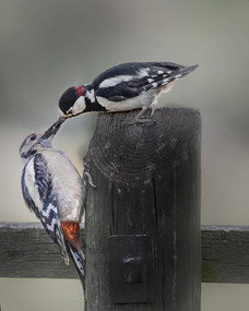 Great Spotted Woodpecker - Adult & Juvenile 2