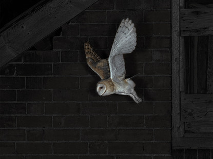 Barn Owl setting out at dusk