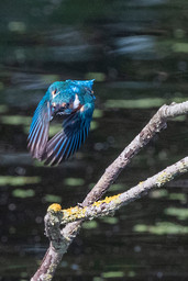 Kingfisher in flight 1