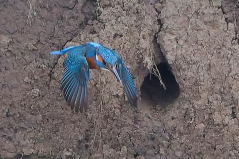 Kingfisher in flight 6
