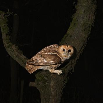 Tawny in Oak Tree-1