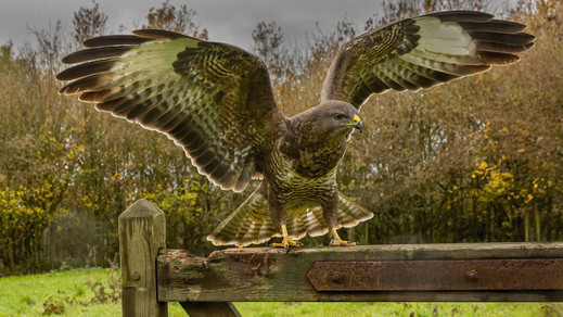 Buzzard alighting on the top of a gate.j