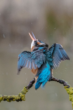 Kingfisher Threatened from Above