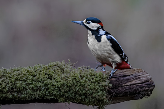 Great Spotted Woodpecker 3