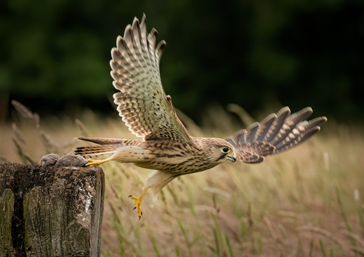 Kestrel in flight 3