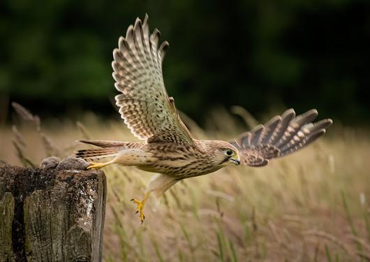 Kestrel in flight 3