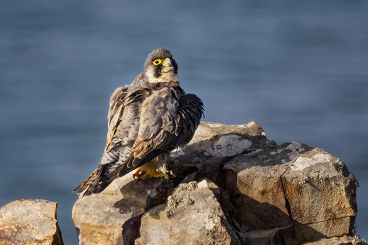 Juvemile gaining adult plumage_X0A9954.jpg