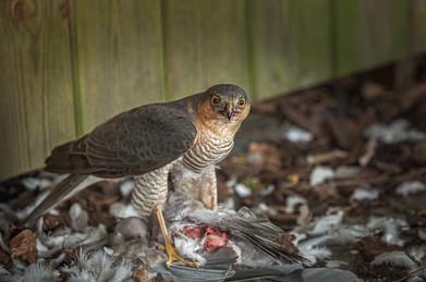 Sparrow Hawk with prey 2