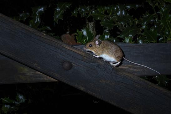 Field mouse on farm gate