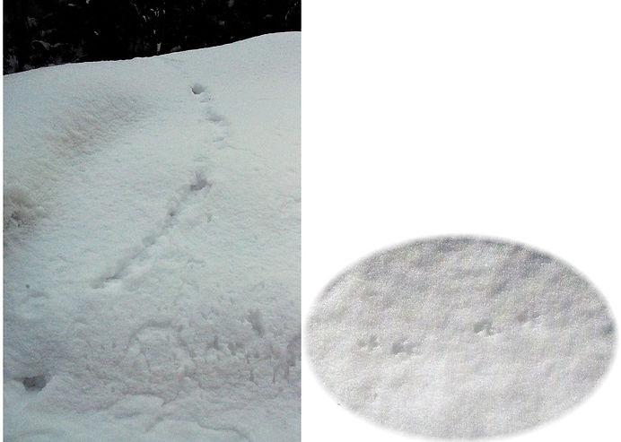 二ホンイイズナのFootprints.jpg