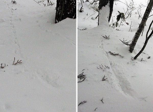 キジorヤマドリの飛来着地痕2景.jpg
