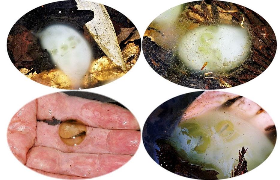 クロサンの卵嚢と卵発生.jpg
