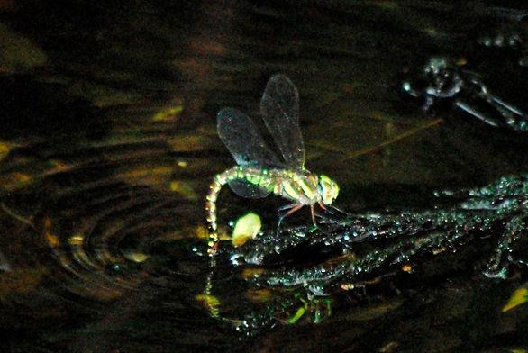2009年8月30日 産卵中のルリボシヤンマ 広泰寺池にて2999.JPG