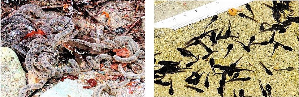 ヒキガエルの産卵とオタマジャクシ.jpg