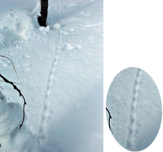 アカネズミの足跡痕.jpg