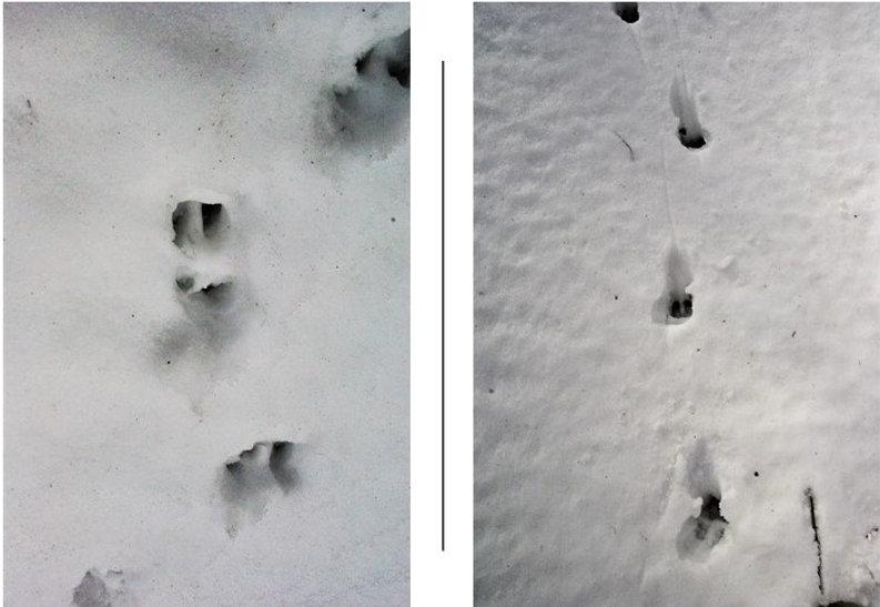 ニホンカモシカのFootprints.jpg