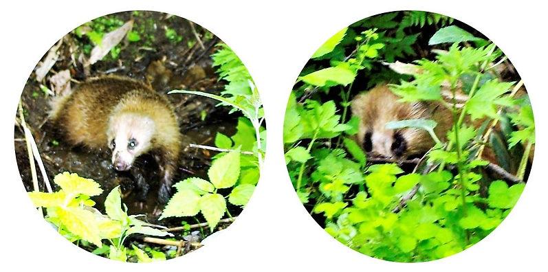 二ホンアナグマ幼獣.jpg