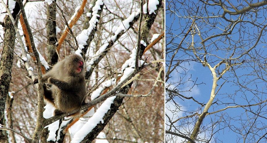 コシアブラの樹皮を食べるニホンザル(左)とその食痕(右).jpg