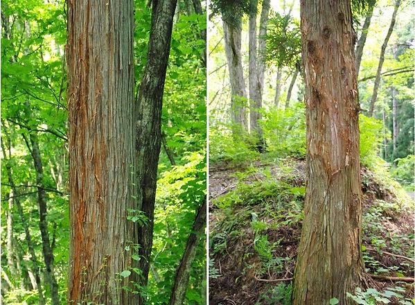 巣材被害のスギ2景.jpg