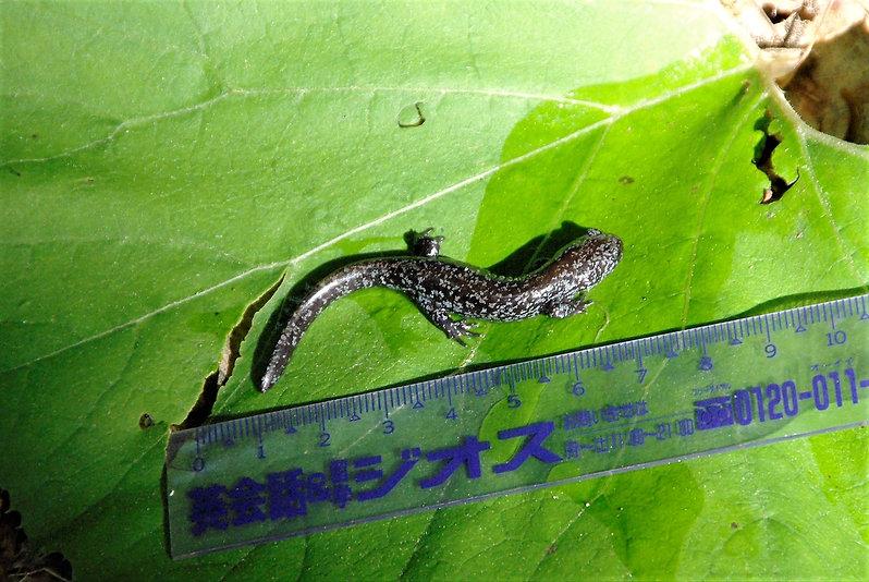 2010-6-2・3観察園 変態直後の幼体.jpg