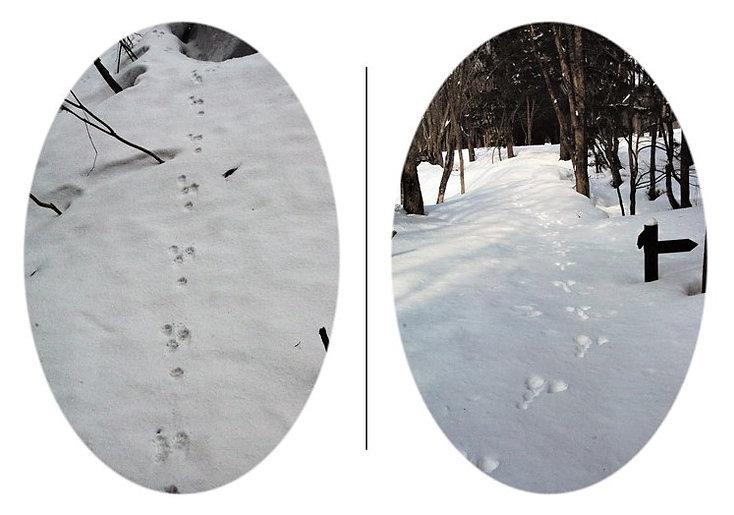ノウサギの足跡a.jpg
