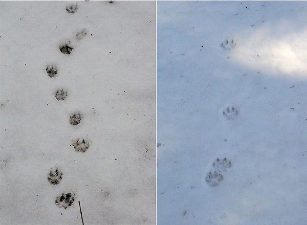 タヌキの足跡痕.jpg