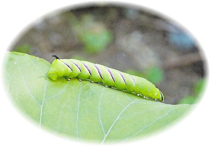 2011-7-31 コエビガラスズメの幼虫(スズメガ科)白神自然観察園にて.jp