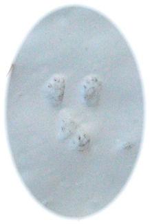 ニホンリスFootprints 003 (2).jpg