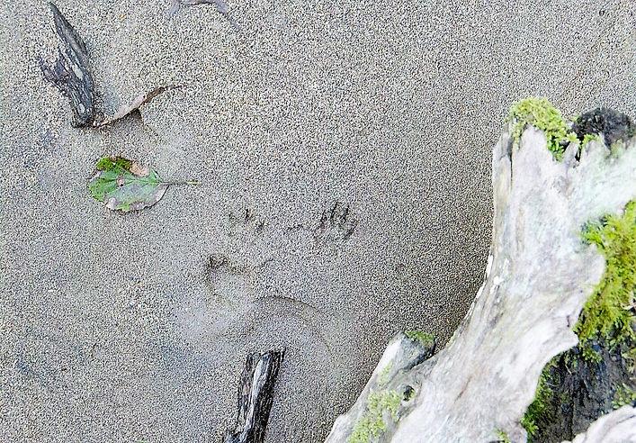 2011年10月9日イタチの足跡 大川渓流川沿いにて.jpg
