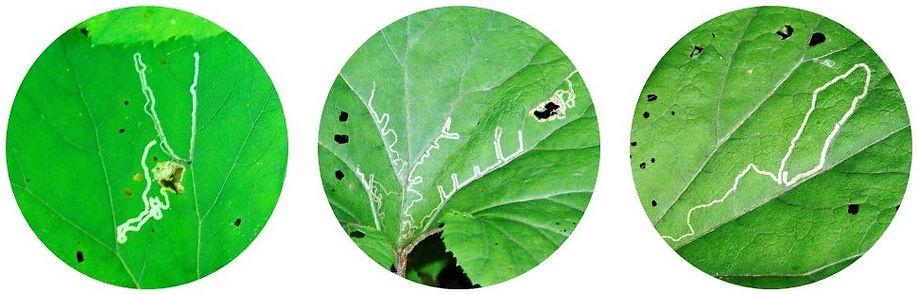 ハモグリバエの幼虫の食痕.jpg