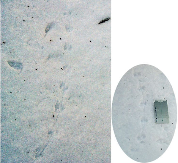 ヒメネズミの足跡痕.jpg