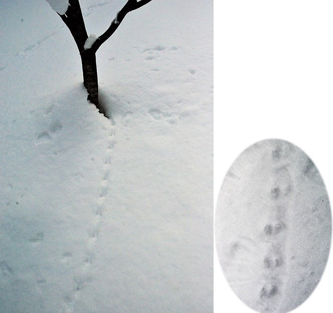 オコジョの足跡痕.jpg