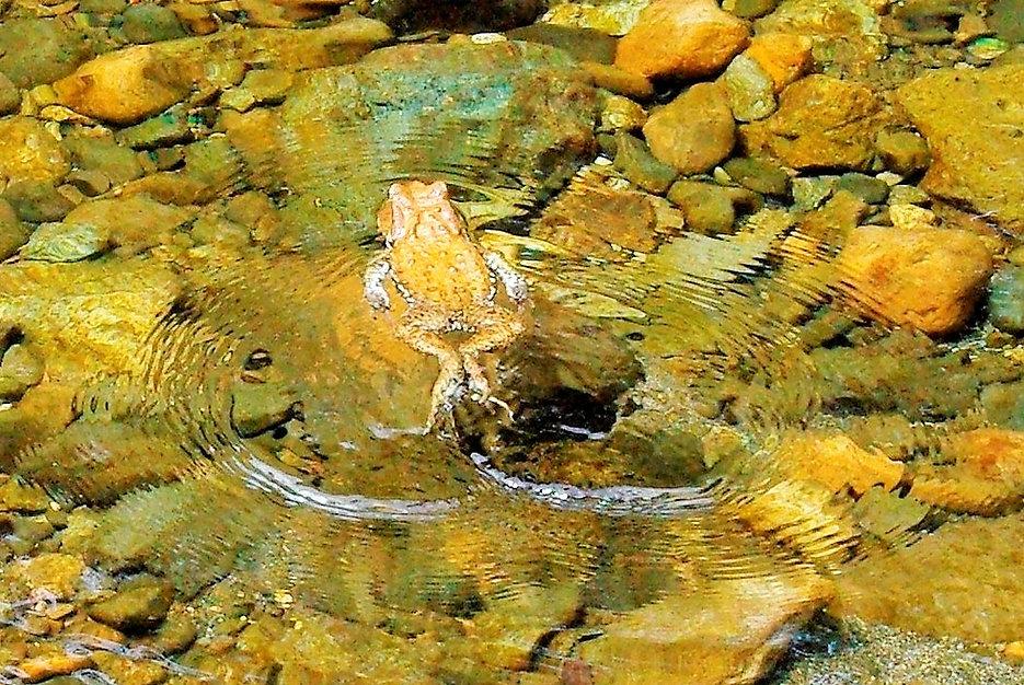 _IGP9527大川を泳ぐアズマヒキガエル2.JPG