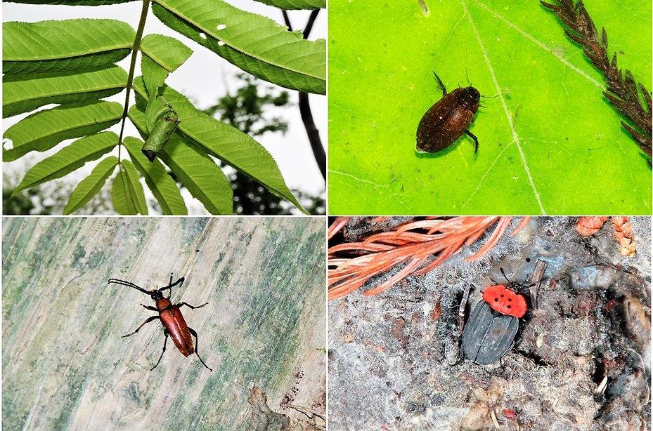 白神山地の甲虫たちーその2a.jpg