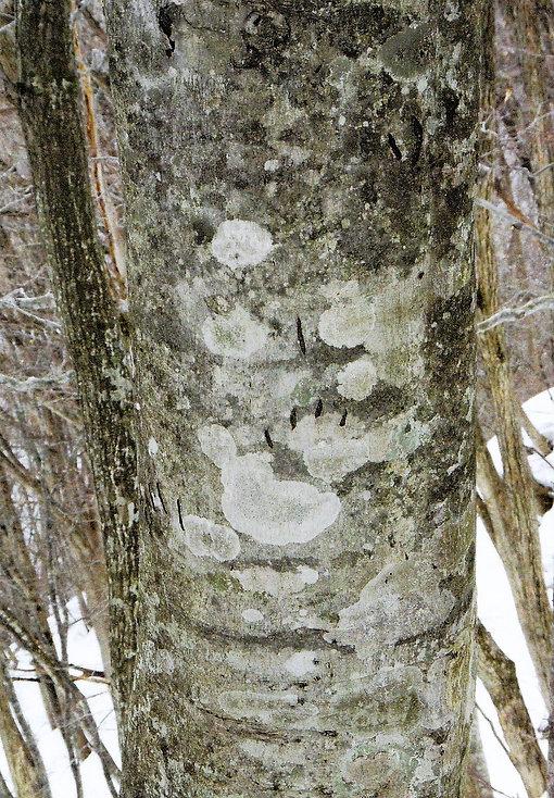 201-3-13 ツキノワグマの爪痕 観察園尾根沿い.jpg