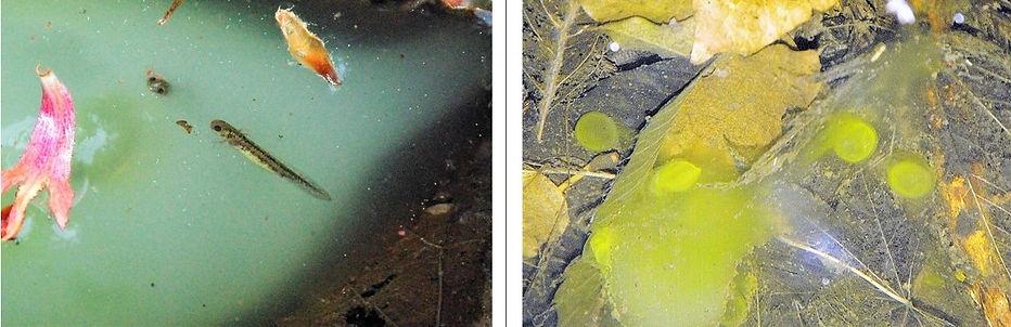 クロサンショウウオの孵化と卵膜.jpg