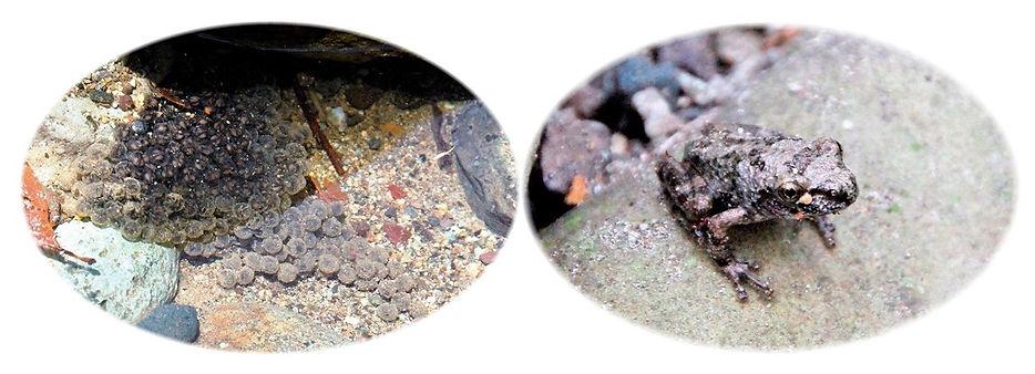 カジカガエルの卵塊と幼体.jpg