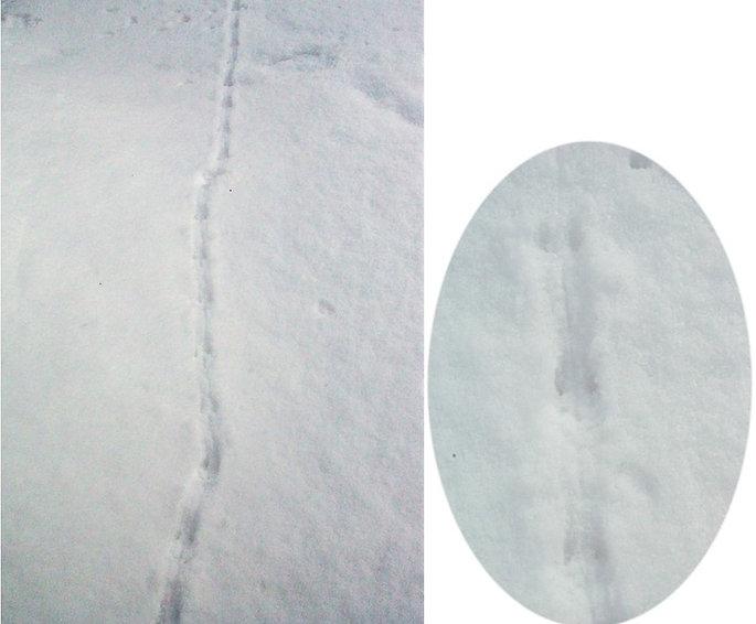 アカネズミの足跡痕2.jpg