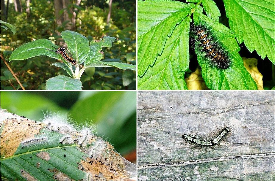 蛾の幼虫.jpg