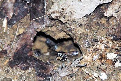 クロスズメバチの巣040a.jpg