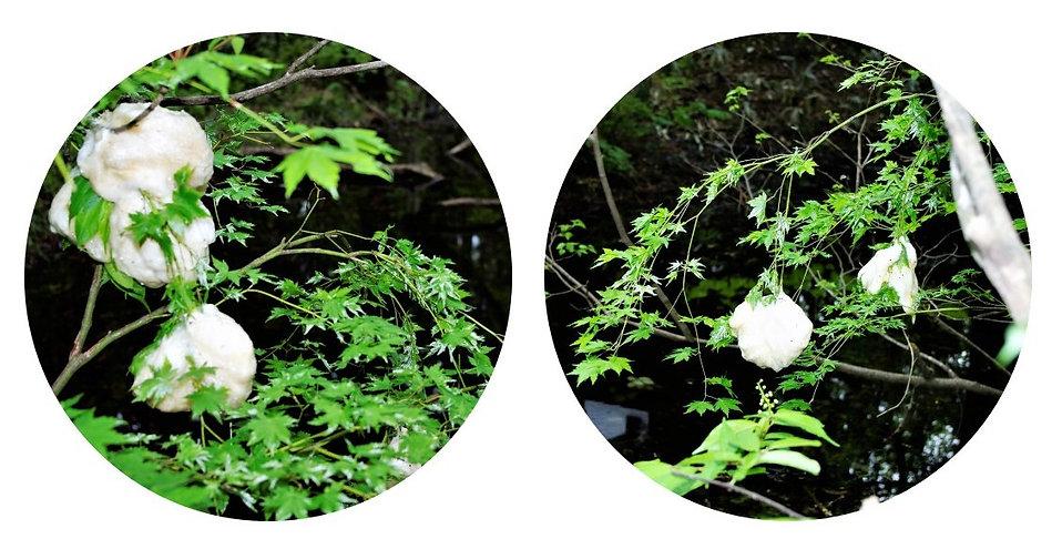 モリアオガエルの卵塊.jpg