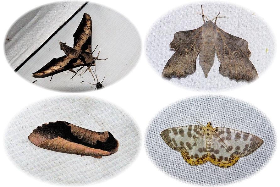 蛾類4種.jpg