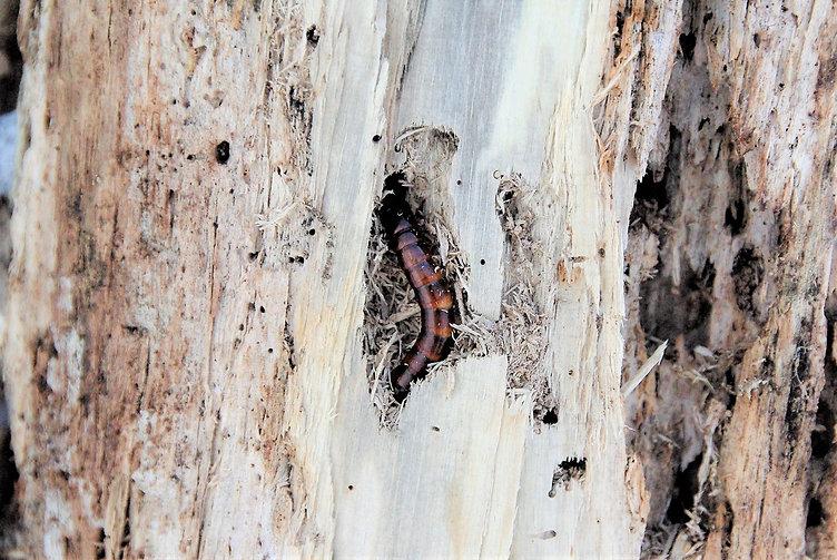 キマワリ幼虫.jpg