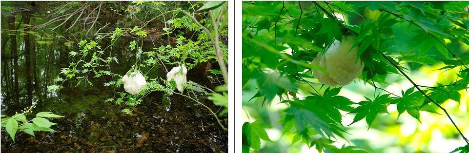 ヤマモミジの枝に産みつけられたモリアオガエルの卵塊.jpg