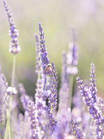 LavenderField1.jpg