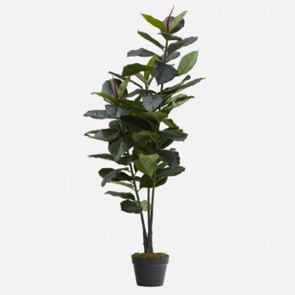 Large Ficus