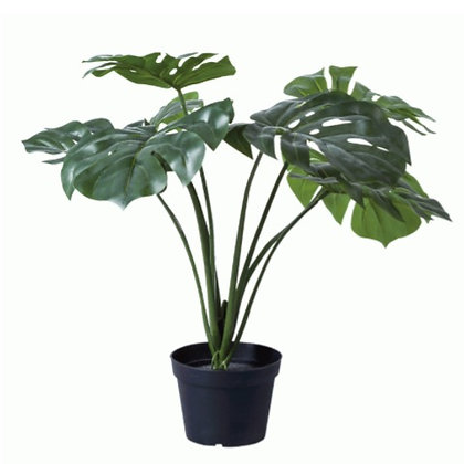 Medium Monstera