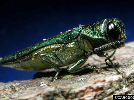 The Invasive Emerald Ash Borer